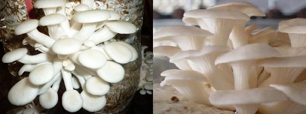 Nấm sò còn được gọi là nấm bào ngư