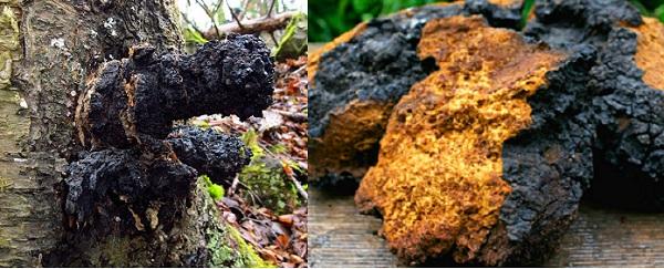 Đặc điểm của nấm chaga là thường mọc trên thân của cây gỗ cứng, đặc biệt là cây phong và cây bạch dương
