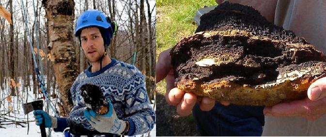 Cách thu hái nấm chaga tại rừng bạch dương