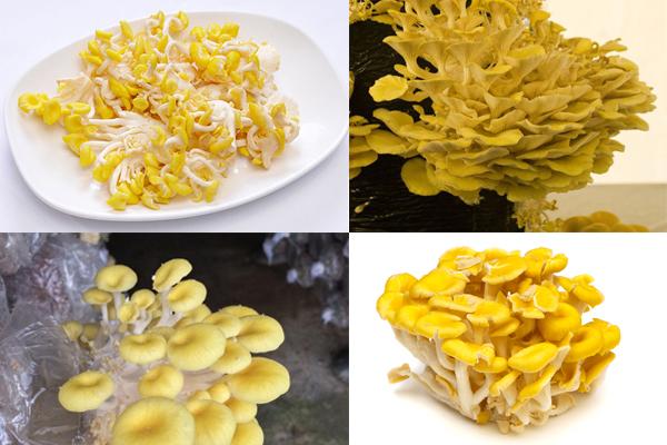 Nấm hoàng kim còn được gọi là nấm ngô