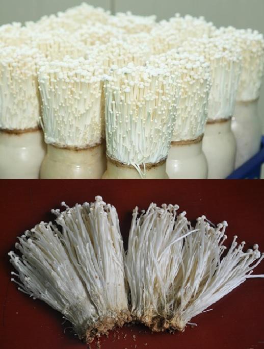 Quy trình trồng nấm kim châm