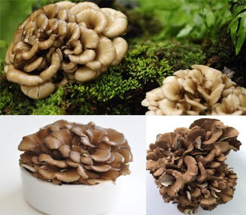Nấm Maitake có nguồn gốc từ Nhật Bản và là loại nấm được rất nhiều người lựa chọn