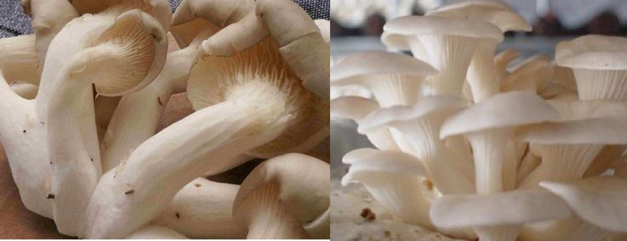 Nên chọn loại nấm ngọc thạch có phần thân mập, tai nấm to và dày