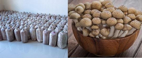 Cách trồng nấm ngọc trâm bằng túi ni lông rất đơn giản