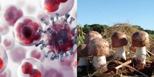 Tác dụng nấm thái dương phòng ngừa ung thư