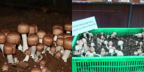 Nấm thái dương được trồng thành công tại Việt Nam