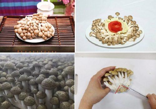 Nấm thủy tiên nâu có nguồn gốc từ Nhật Bản
