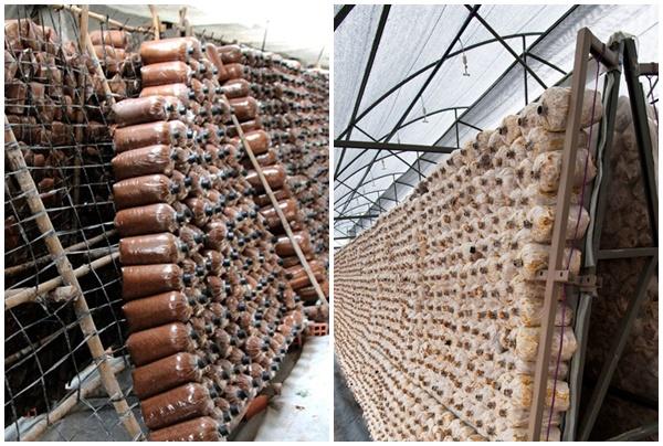 Mô hình trồng nấm trà tân chuyên nghiêp.