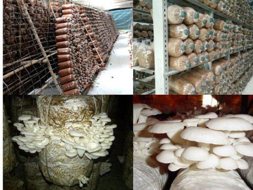Mô hình trồng nấm bào ngư đơn giản tại nhà