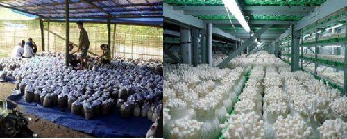 Quy trình trồng nấm ngọc châm tại nhà rất đơn giản