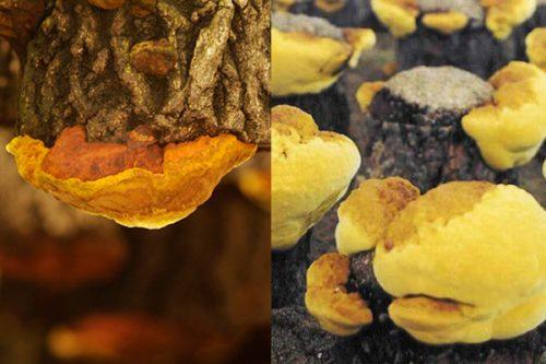 Nấm thượng hoàng được trồng nhân tạo bằng cách cấy tế bào nấm trên các thân gỗ rồi treo lên cao